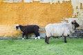 Black and white sheep Stock Image
