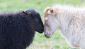 Black and white sheep on pasture -  Concent of love Royalty Free Stock Photo