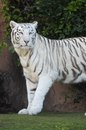 Black and white striped tiger rare adult Stock Photo