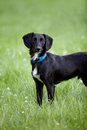 Black and white terrier mix dog standing in long green grass Royalty Free Stock Photo