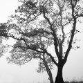 Black and White tree Royalty Free Stock Photo