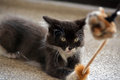 Black and White Tuxedo Kitten Playing with Cat Toy Royalty Free Stock Photo