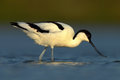 Black and white wader bird pied avocet recurvirostra avosetta in blue water texel holland Royalty Free Stock Photography