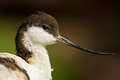 Black and white wader bird pied avocet recurvirostra avosetta portrait of bird with curved bill camargue france detail Stock Images