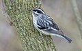 Black and white warbler is common nests in relatively mature deciduous or mixed forests Royalty Free Stock Photography