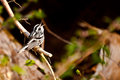 Black and white warbler a singing from a branch Stock Photos