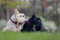 Black and white (wheaten) dog, pair of beautiful scottish terrier, sitting on green grass lawn Royalty Free Stock Photo