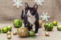 Black and white young cat and Christmas decorations Royalty Free Stock Photo
