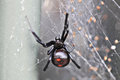 Black Widow Royalty Free Stock Photography