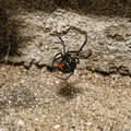 Black Widow Spider Royalty Free Stock Image