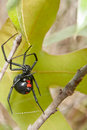 Black widow a spider climbing up a branch on it s web Stock Photo