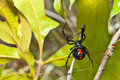 Black widow spider a close up of a Royalty Free Stock Images