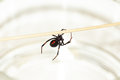 Black widow spider deadly female latrodectus mactans with red hourglass shape underneath her abdomen Royalty Free Stock Photo