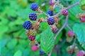 Black Wild Blackberry Royalty Free Stock Photo