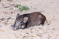 Black wild boar Royalty Free Stock Photo