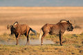 Black wildebeest a pair of connochaetes gnou south africa Stock Images