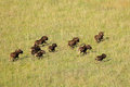 Black wildebeest running aerial view of connochaetes gnou in grassland south africa Royalty Free Stock Photos