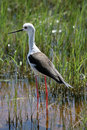 Black winged stilt Royalty Free Stock Photo