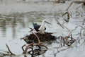 Black winged stilt beautiful hatching egg above the water Stock Photography