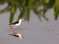 Black winged stilt bird small birds himantopus himantopus white with patch at the nape of neck and wings long bill red eye Stock Images