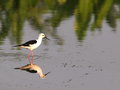 Black winged stilt bird small birds himantopus himantopus white with patch at the nape of neck and wings long bill red eye Stock Photos