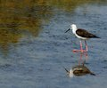 Black winged stilt bird with tapered legs walking in the pond Royalty Free Stock Images
