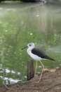 Black-winged Stilt bird walking near the pool Stock Image
