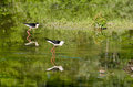 Black winged stilt cavaliere d italia Stock Photography