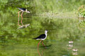 Black winged stilt cavaliere d italia Stock Images