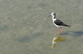 Black winged stilt cavaliere d italia Stock Image