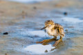 Black winged stilt chick expecting its progenitors return Stock Photography