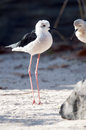 Black winged stilt the common or pied Stock Photography
