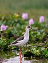 Black winged stilt in flower pond Stock Photos