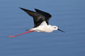 Black Winged Stilt in flying over water Royalty Free Stock Photo