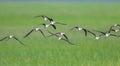Black-winged Stilt (Himantopus himantopus ) Royalty Free Stock Photo