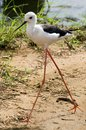Black winged stilt himantopus himantopus in kruger national park south africa Stock Photo