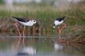 Black winged stilt himantopus himantopus in their natural environment Stock Photo
