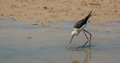 Black winged stilt a himatopus himantopus hits the water surface of a shallow lagoon to catch invertebrates fishes or amphibians Royalty Free Stock Images