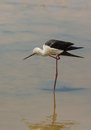 Black winged stilt a himatopus himantopus takes care of it s plumage standing on one leg in the shallow waters of a lagoon in Stock Photo