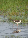 Black winged stilt in lake Chilika, India Royalty Free Stock Image