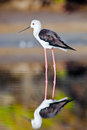 Black winged stilt searching for some to eat Royalty Free Stock Photos