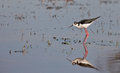 Black-winged Stilt in the water Stock Photo