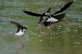 Black-winged Stilts fighting