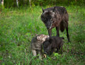 Black wolf canis lupus and frolicking pups captive animals Stock Image