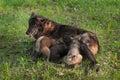 Black wolf canis lupus nurses wolf pups captive animals Royalty Free Stock Images
