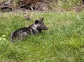 Black Wolf Pup Royalty Free Stock Photo