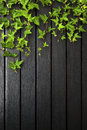 Black wood background ivy growing down top Stock Photography