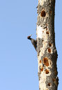 Black woodpecker drilling a whole in a dry tree Royalty Free Stock Photography