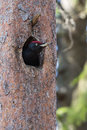 Black Woodpecker in the nest Royalty Free Stock Image