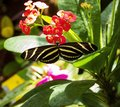 Black and yellow butterfly on red flower Royalty Free Stock Photo